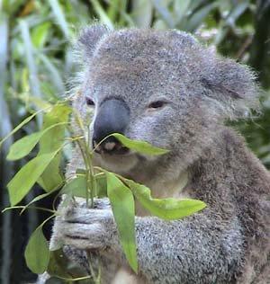 koaladiet2.jpg